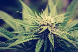 Parental consumption shapes how teens think about and use cannabis